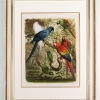 RIP Glaucous Macaw: After Gustav Mützel