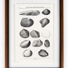 RIP Stirrup Shell Freshwater Mussel: After Walter Freeman Webb