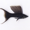 Black Sailfin molly with Lyre-tail