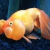 Double-Bubble Eyed goldfish