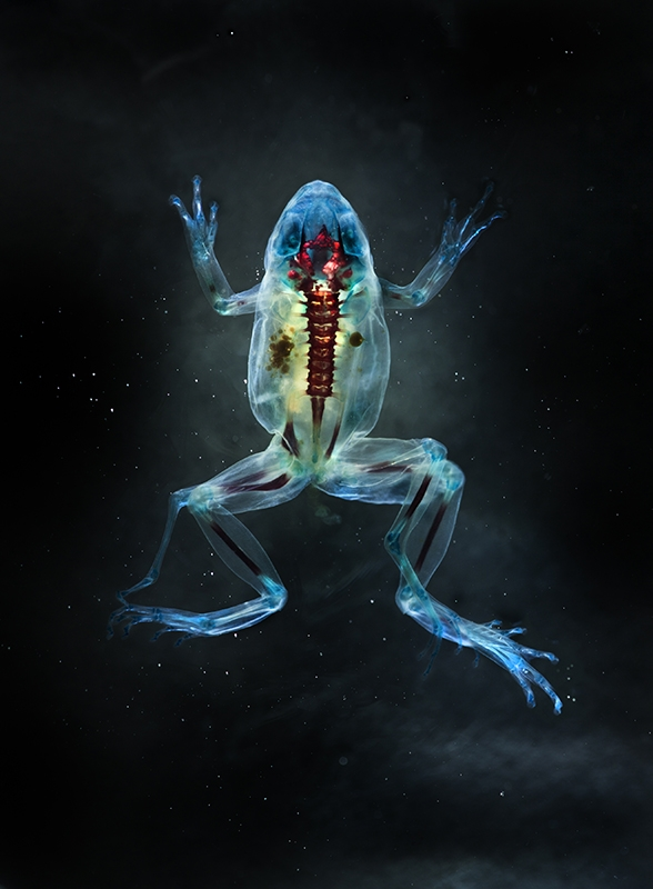 DFA186 Hades. 2012. Photograph of cleared and stained multi-limbed pacific tree frog from Aptos, California in scientific collaboration with Stanley K. Sessions. Unique digital C-print on watercolor paper.  Malamp, Deformed frog