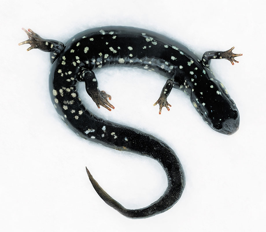 Northern Slimy salamander/ Plethodon glutinosus