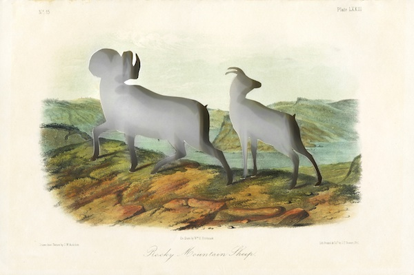 RIP Audubon's Bighorn Sheep: After John Woodhouse Audubon