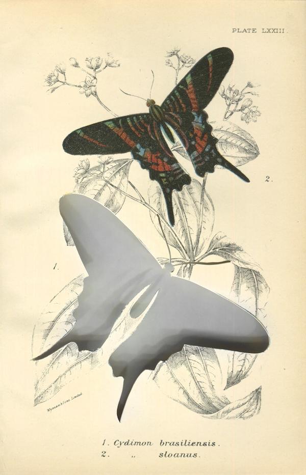 RIP Sloane's Urania Butterfly: After W.F. Kirby