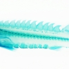 Cleared and Stained Atlantic sturgeon, Acipenser oxyrhynchus