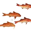 Goatfish species