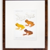 RIP Hazel\'s Treefrog and Adler\'s Mottled Treefrog: After David M. Dennis