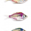 Painted Glow in the Dark tetra or Glassfish