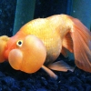 Double-Bubble Eyed goldfish