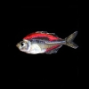 Painted Glow in the Dark Pink tetra or Glassfish