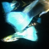 Neon-Blue Cobra guppies