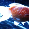 Pearl-Scale goldfish