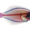 School of Fish - Winter Flounder (Pseudopleuronectes americanus)