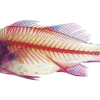School of Fish- White Perch (Morone americana)