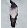 DP 14.2: Blue Owl (verso)